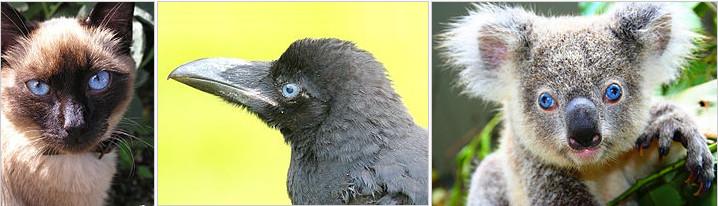 사람뿐 아니라 많은 동물에서 파란 눈을 지닌 개체가 발견된다. 홍채 기질에 멜라닌 색소가 없는 경우다. 왼쪽부터 고양이, 까마귀, 코알라. - 위키피디아 제공