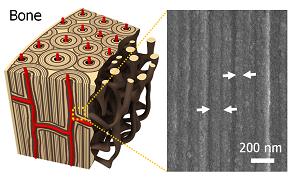 줄기세포가 뼈를 만드는 세포로 자라는 환경. 200nm로 좁은 틈새에서 자라난다. - Scientific Reports 제공