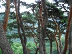 우리나라 소나무(Pinus densiflora). 일반적으로 잎이 2개씩 모여나고, 나무껍질이 붉다. 보통 줄기가 구불구불하지만 백두대간에만 자생하는