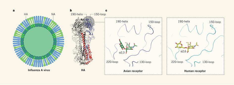 독감바이러스 표면의 헤마글루티닌(HA) 단백질의 한 영역(왼쪽에서 두 번째 그림이 분자구조로 오른쪽 위 회색 원)이 숙주 세포 표면 당단백질의 시알산과 갈락토스 결합을 인식한다. 조류독감바이러스의 경우 알파2,3-결합을 인식해 달라붙고(오른쪽에서 두 번째), 인간독감바이러스의 경우 알파2,6-결합을 인식해 달라붙는다(맨 오른쪽). 현재 중국에서 사람도 감염시키는 H7N9 조류독감바이러스의 경우, 헤마글루티닌에 변이가 일어나 알파2,3-결합뿐 아니라 알파2,6-결합도 인식한다는 사실이 밝혀졌다. - 네이처 제공