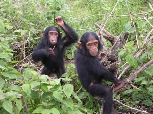 침팬지는 동료에게 자신의 의도가 담긴 손짓을 한다. - 위키미디어 제공