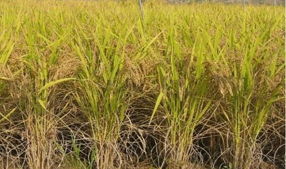 국산 식물품종 이상기후에 '더 강하다!'