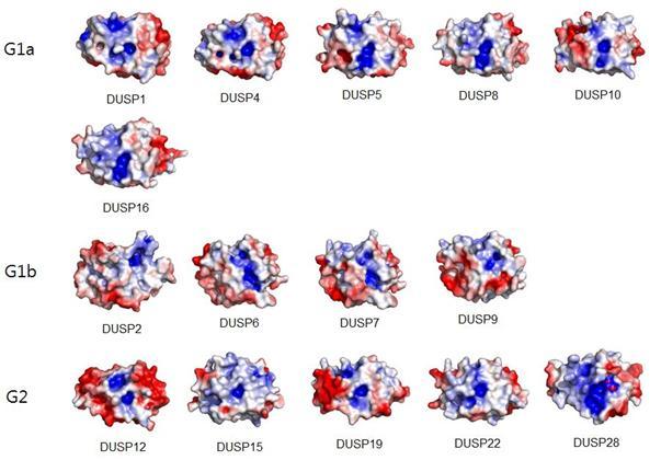 이중특이적탈인산화효소(DUSP) 28개 중 15개의 표면구조. 그림에서 각각의 DUSP들은 구조적 특성에 따라 G1a, G1b, G2 등으로 구분돼 있는데, 파란색은 양전하를, 붉은색은 음전하를 띠고 있는 부분이고 하얀색은 전하를 띠고 있지 않는 부위이다. 이러한 전하의 분포와 표면굴곡의 특성에 따라 단백질 기능을 제어할 수 있는 선택적인 물질을 설계할 수 있다. - 한양대학교 제공