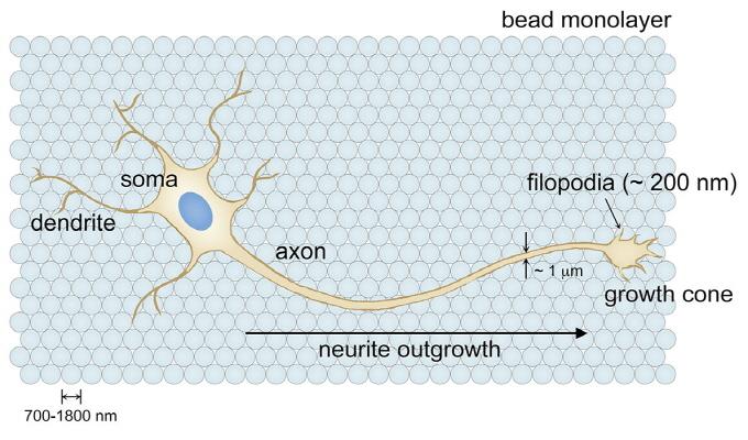 거친 표면에서 더 빨리 자라는 뇌신경세포 - (주)동아사이언스 제공