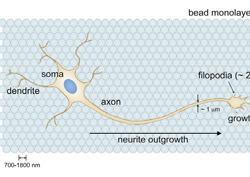 거친 표면에서 더 빨리 자라는 뇌신경세포