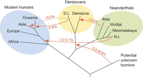 지난 수년간의 게놈 해독 결과를 바탕으로 구성한 인류의 관계도. 아프리카를 벗어난 현생인류에게 네안데르탈인의 피가 약간 섞였고(1.5-2.1%), 오세아니아 원주민들에게 데니소바인의 피가 3-6% 섞였다는 사실이 밝혀졌다. 또 데니소바인에게는 미지의 인류의 피가 0.5-8% 섞인 것으로 추정된다. 고게놈학이 없었다면 상상할 수도 없는 연구결과들이다. - 네이처 제공
