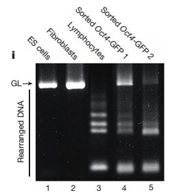 유전자 분석결과를 나타내는 이 전기영동 이미지는 별도의 2개 이미지를 합성해 만든 것으로 밝혀졌다. - Nature 제공