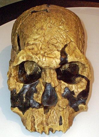1972년 발굴된 190만년 전 호미니드 두개골. 처음에는 호모 하빌리스로 생각됐으나 고인류학자 우드는 좀 더 두드러진 눈 둘레 골격 등 해부학적 특징이 다르다고 결론짓고 호모 루돌펜시스라는 새 학명을 붙여줬다. - 위키피디아 제공