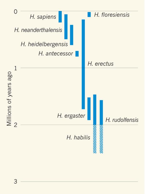 추가 화석 발견을 토대로 호모 하빌리스와 호모 루돌펜시스가 별개의 종이라는 주장을 지지하는 연구결과가 2012년 '네이처'에 실렸다. 같은 호에 실린 해설에서 제시된 호모속 인류의 가계도로 초기 호모속으로  호모 하빌리스와 호모 루돌펜시스가 나란히 배치돼 있다. - 네이처 제공