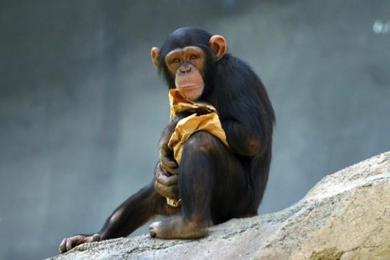 침팬지에게도 침대는 과학