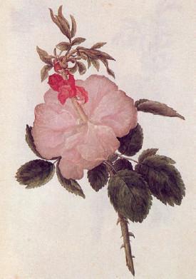 '식물 형태론' 속편을 위해 괴테가 의뢰한 엽화된 장미꽃 수채화. 괴테는 '식물 형태론'에서 이 형태를 자세히 묘사했다.