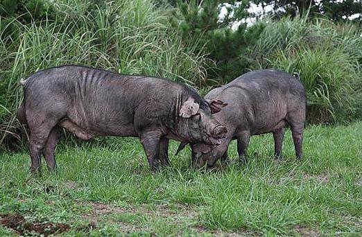 온 몸이 삼겹살, 신품종 돼지 개발