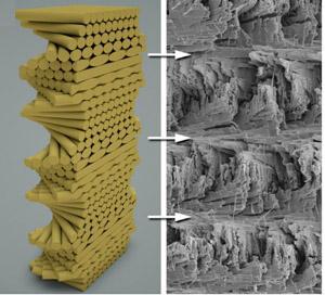 연구진은 갯가재 앞다리의 나선형 구조(오른쪽)를 본떠 강도가 탁월한 나선형 구조물(왼쪽)을 개발했다. - 미국 리버사이드 캘리포니아대 제공