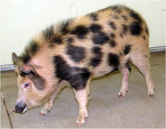 건국대 연구진은 면역기능이 결핍돼 인간의 장기를 이식해도 아무런 거부반응이 발생하지 않는 '인간화된 돼지'를 세계 최초로 개발했다.