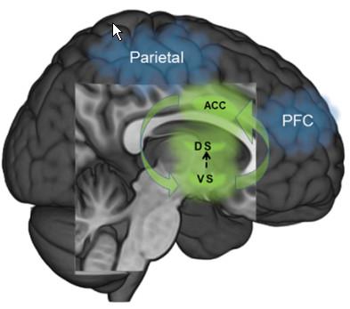 어떤 행동을 처음 할 때는 전전두엽(PFC)와 두정엽(parietal)이 활동하지만 습관화가 될수록 선조체(녹색)로 활동이 몰린다. 그림에는 표시되지 않았지만 습관적인 행동을 할 때 선조체의 활동에 변연계아래피질이 관여하는 것으로 밝혀졌다. - frontiers in psychiatry 제공