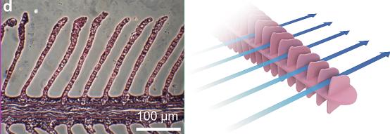 연구팀은 물고기의 아가미 주름이 개체 크기와는 무관하게 일정한 거리를 유지한다는 사실에 착안해 이번 연구를 진행했다. - 서울대학교 공과대학 제공