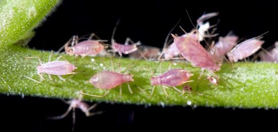 진딧물과 박테리아의 불편한 동거