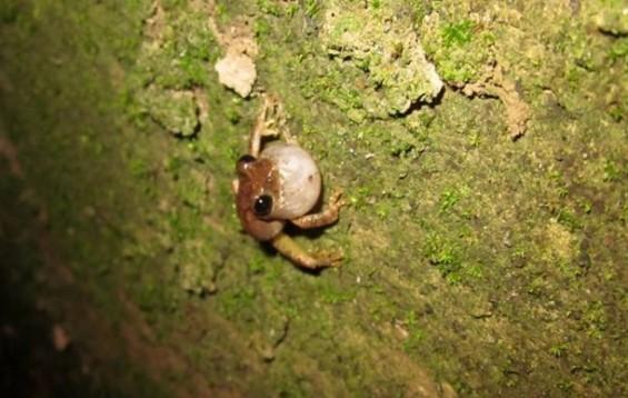 도시 개구리의 짝짓기 노하우