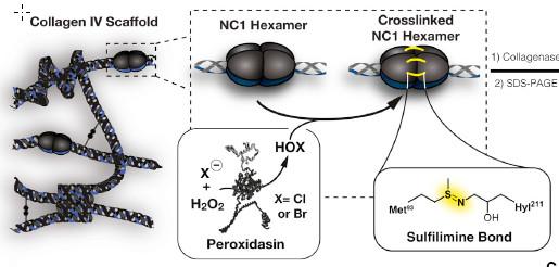 상피조직에 존재하는 기저막은 콜라겐 네트워크가 지탱한다. 삼중나선분자인 콜라겐은 말단(NC1육합체)이 설필리민 결합을 통해 연결되면서 네트워크를 형성한다. 퍼옥시다신이라는 효소가 이 과정을 촉매하는데, 이때 브롬이온이 꼭 있어야 한다. - 셀 제공