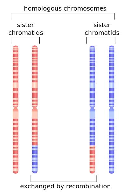 생식세포(난자 또는 정자)를 만드는 감수분열이 일어날 때 먼저 게놈 복제 된 뒤(4n) 반수체(n) 세포 네 개로 갈라진다. 이 과정에서 염색체재조합이 일어난다. 23종 염색체 모두에서 이런 일이 일어나므로 같은 부모에게서도 외모와 성격이 전혀 다른 형제가 나올 수 있다. - 위키피디아 제공