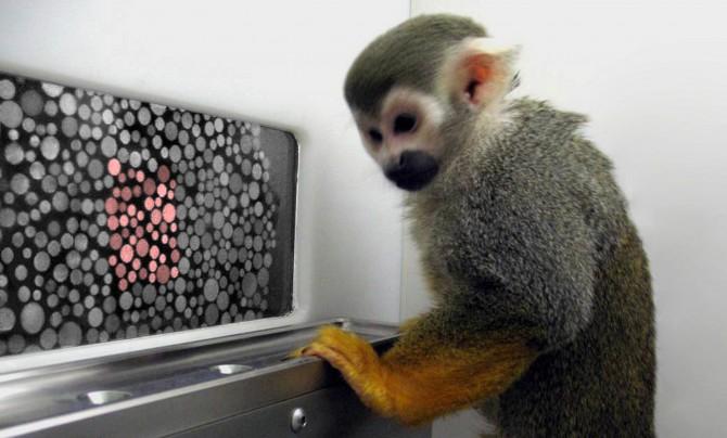 2009년 미국 워싱턴대 연구자들은 유전자 결함으로 색맹인 원숭이에게 원추세포유전자를 넣어줘(유전자 추가 방법) 컬러를 제대로 볼 수 있게 만드는데 성공했다. 유전자치료의 가장 유명한 예다. - Neitz Laboratory 제공