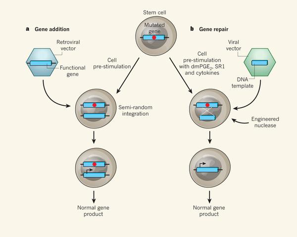 유전자 치료의 두 가지 방법을 도식적으로 비교했다. 왼쪽은 현재 널리 쓰이고 있는 '유전자 추가' 방법으로 레트로바이러스에 정상 유전자를 넣어준 뒤 변이유전자가 있는 줄기세포에 넣어주면 정상유전자가 게놈에 끼어들어가면서 정상유전자의 산물(대부분 단백질)이 만들어진다. 오른쪽은 최근 연구가 활발한 '유전자 수리' 방법으로 정상유전자를 실은 바이러스와 함께 유전자가위(engineered nuclease)를 함께 넣어 변이유전자를 고쳐 정상세포를 만들어 병을 치유한다. 유전자 추가에 비해 복잡한 과정이지만 지난해 3세대 유전자가위가 개발되면서 많은 연구자들이 쓸 수 있게 됐다. - 네이처 제공
