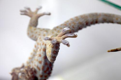 게코 도마뱀의 발바닥에는 미세한 털(섬모)이 있어 어디든 자유롭게 달라붙는다. - GIST 제공