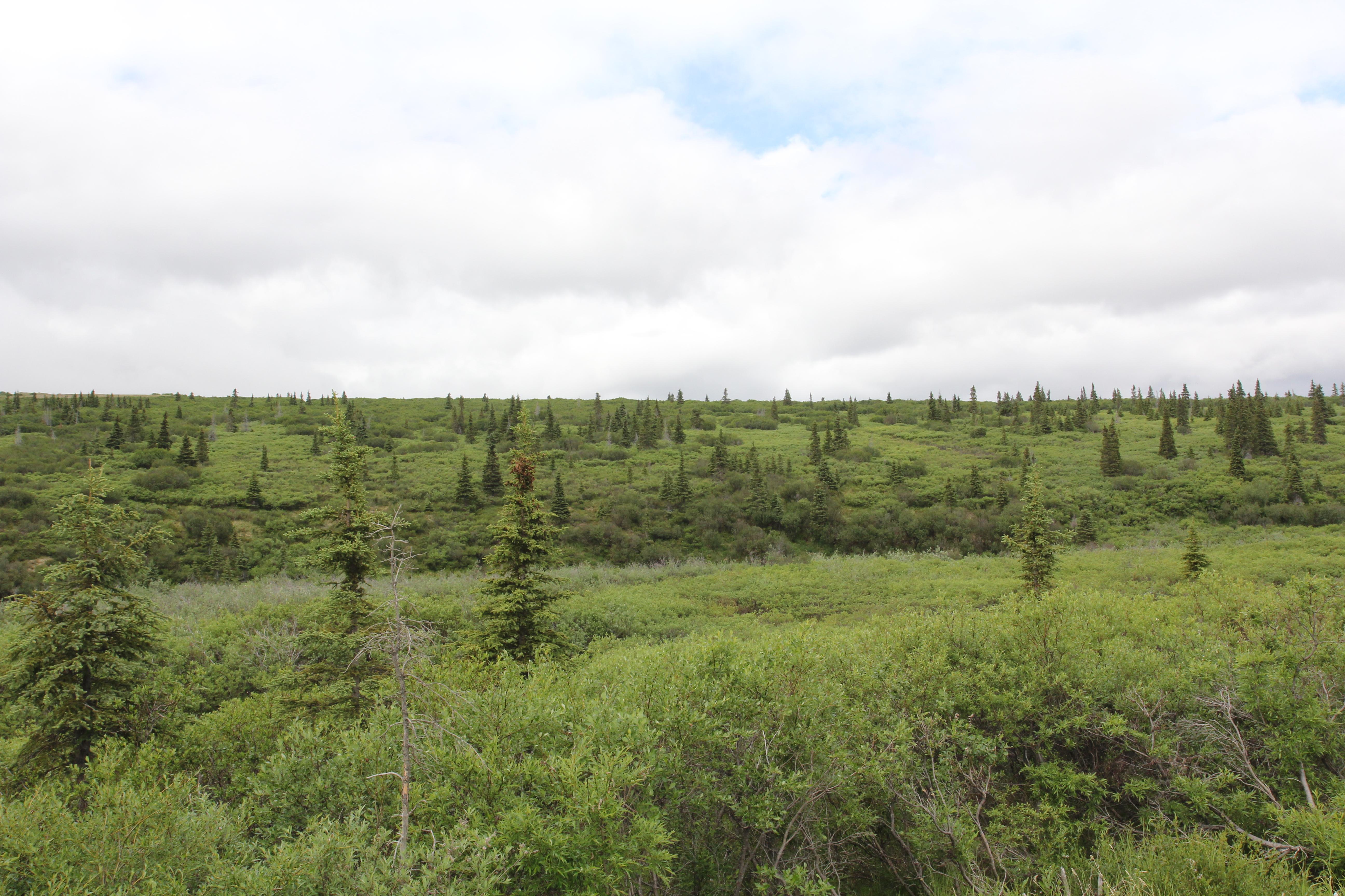 알래스카 영구동토지역(툰드라)의 경계선까지 가문비나무가 진출해 있다. 지구온난화가 빨라지면서 가문비나무가 북상하고 있다.