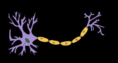 86세 노인 피부세포로 신경세포 제조