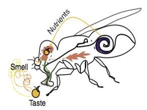 음식에 대한 선호도를 갖게 되는 데는 맛이나 냄새 같은 감각정보만으로는 부족하고 영양정보도 있어야 한다는 연구결과들이 최근 수년 사이 발표됐다. 초파리 실험 결과 먹이의 냄새에 대한 기억력은 먹이에 칼로리가 있는가 여부에 따라 큰 차이가 난다는 사실이 밝혀졌다. - 커런트바이올로지 제공