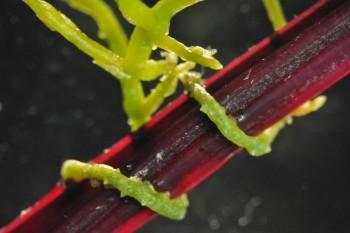 기생식물 새삼이 다른 식물의 줄기를 휘감고 있는 모습. 초록색이 새삼이다.  - 사이언스 제공