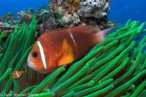 어린 흰동가리들은 해류를 타고 400km를 이동하는 걸으로 밝혀졌다. - Tane Sinclair-Tylor 제공