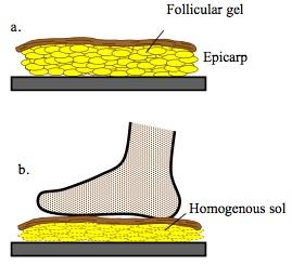 바나나 껍질(epicarp)의 단면을 보면 수 마이크로미터 크기의 과립젤(follicular gel)로 이뤄져 있다. 껍질을 밟으면 눌려 과립이 터지면서 균일한 졸(homogeneous sol) 상태로 바뀌면서 유동성이 커져 바닥 면에서 쉽게 미끄러진다. - Tribology Online 제공