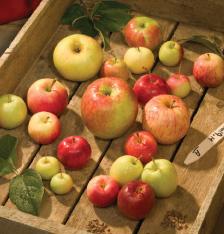 중앙아시아의 야생 사과나무에서 딴 다양한 크기와 색상의 사과.  - 미국 농림부 농업연구소(USDA-ARS) 제공