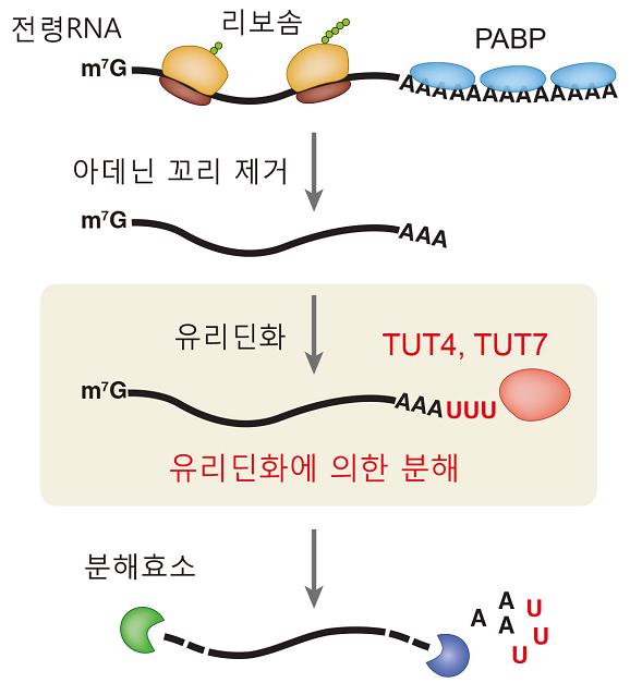 성숙한 전령RNA는 긴 아데닌 꼬리를 가지고 있는데, 기능을 마친 전령RNA는 이 아데닌 꼬리가 짧아지면서 분해가 시작된다(아데닌 꼬리 제거). 아데닌 꼬리가 짧아진 전령RNA는 TUT4, TUT7 효소에 의해 추가로 유리딘 꼬리를 가지게 되면서 더욱 빨리 분해된다. - IBS RNA연구단 제공