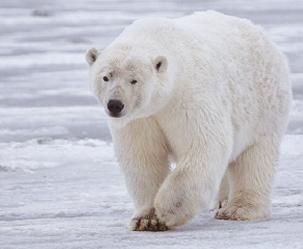 북극곰이 줄고 있다, 정말로!