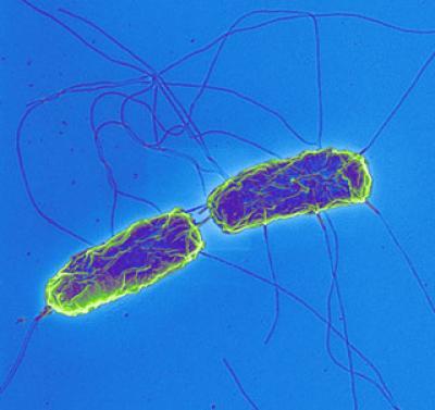 장티푸스을 일으키는 살모넬라 균 - 독일 막스플랑크연구소 제공