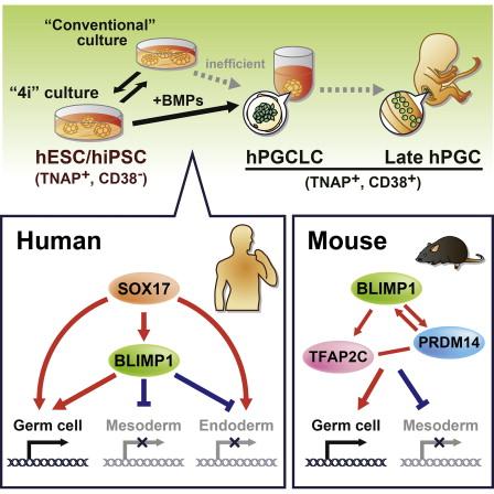 쥐의 시원생식세포를 만들 때는 관여하지 않던 SOX17이 인간 시원생식세포를 만들 때는 결정적인 역할을 한다는 사실이 밝혀졌다. - 셀 제공
