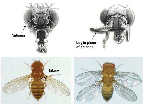 대표적인 호메오유전자 돌연변이체들. 더듬이가 날 자리에 다리가 달린 안테나페디아(오른쪽 위)와 날개가 넷 달린 변이체(오른쪽 아래). - 칼텍 제공