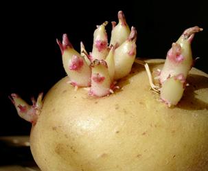 감자에 싹이 나서 잎이 나서 훨훨훨, 과정 보니…