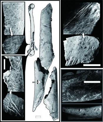 크로아티아 크라피나 유적에서 발견한 네안데르탈인 뼈화석의 스케치(가운데). 칼자국이 뼈의 끝 부분에 있음을 알 수 있다. 왼쪽 위 전자현미경 사진은 뼈를 받친 모루에 긁힌 자국, 아래는 칼자국이다 . 오른쪽 위는 두개골, 아래는 턱뼈의 돌도끼 자국이다. - 사이언스 제공