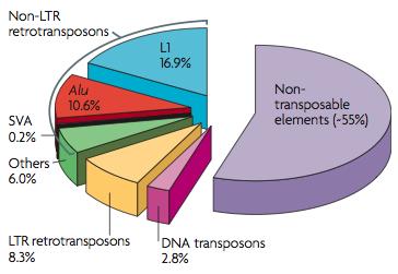 인간 게놈의 45%는 전이성 인자로 이뤄져 있다. 이 가운데 대부분을 차지하는 레트로트랜스포존은 L1(16.9%), Alu(10.6%), LTR 레트로트랜스포존(내인성 레트로바이러스, 8.3%) 등으로 이뤄져 있다. 정크DNA로 알려진 레트로트랜스포존 가운데 일부가 여전히 활동하면서 숙주(인체)의 건강에 다양한 영향을 미치고 있다는 사실이 속속 밝혀지고 있다. - 네이처 유전학 제공