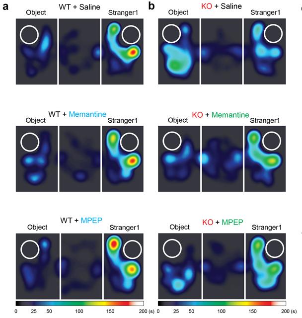 쥐가 공간에 머무는 시간을 색으로 나타냈다. 검은 색은 0초, 빨간색은 150초 이상을 나타낸다. 정상 쥐(윗 줄 a 사진, WT)는 물체보다 낯선 쥐의 주위에 머무는 시간이 길지만 자폐증 쥐(윗줄 b 사진, KO)는 낯선 생쥐에게 관심이 없다. 하지만 메만틴을 투여하거나(두 번째 줄 사진) 엠펩을 주면(세 번째 줄 사진) 사회성이 회복된다.  - IBS 제공
