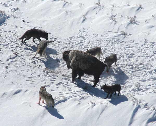 1_늑대는 집단 공격으로 체중이 1톤 가까이 나가는 들소에게도 덤벼든다. 늑대 무리가 아메리카들소와 대치하고 있는 장면.  - 위키피디아 제공