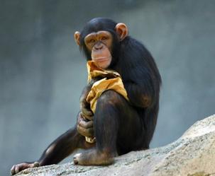 침팬지도 '외국어' 할 수 있다