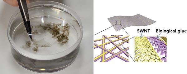 연구진은 단겹탄소나노튜브에 특이적으로 결합하는 바이오물질을 이용해 나노그물 구조의 전극(왼쪽)을 개발했다. - KIST 제공