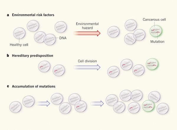 암은 유전자 변이의 질환으로 그 원인은 크게 세 가지로 나뉜다. 먼저 환경 요인으로 발암물질이나 자외선 등에 노출돼 세포의 DNA가 손상된 결과 암세포가 생길 수 있다(위). 변이 유전자를 물려받은 경우 세포가 분열하다가 암세포로 바뀌기가 쉽다(중간). 정상 세포가 분열하는 과정에 임의로 생긴 변이가 축적돼 암세포가 나오기도 한다(아래). 현대의학은 환경과 유전을 큰 비중으로 다루고 있지만 최근 임의의 변이가 더 큰 요인이라는 연구결과가 나오면서 논쟁이 벌어지고 있다.  - 네이처 제공