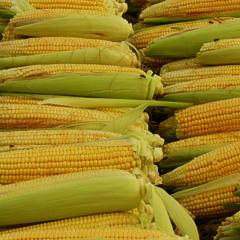 GMO 수입량 꾸준한 증가세… 지난 해 1000만 t 넘어