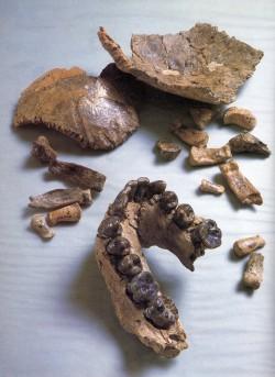 탄자니아에서 발굴한 호모 하빌리스의 턱뼈와 이, 머리뼈의 일부.  - 네이처 제공