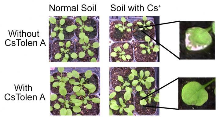 세슘에 오염된 토양에서 자란 식물은 성장이 더디고, 잎이 병든 반면(위), CsTolen A와 함께 재배한 경우 식물 성장과 잎 건강 모두 개선되었다(아래). - RIKEN 제공